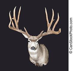 whitetail, トロフィー, 鹿