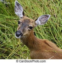 whitetail, 女性, 鹿