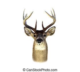whitetail 사슴, 머리, 고립된