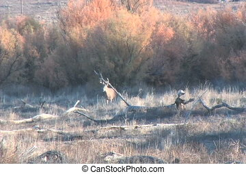 Whitetail Buck - a nice whitetail buck emerges from thick...