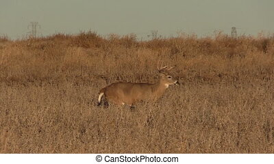 Whitetail Buck - a nice whitetail buck in a field