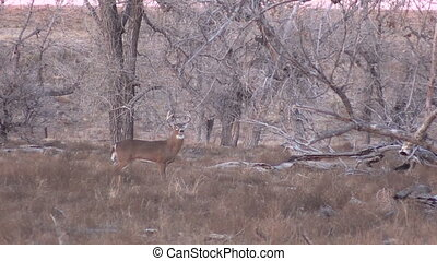 Whitetail Buck - a nice whitetail buck standing broadside