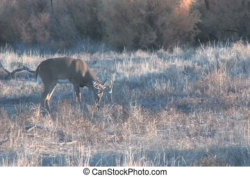 Whitetail Buck - a whitetail buck moving along a river...