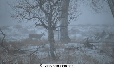 Whitetail Buck - a whitetail buck trailing a due in rut...