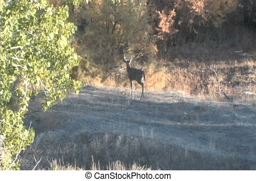 Whitetail Buck - a whitetail buck walks out of sight behind...