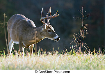 Whitetail buck - A whitetail deer buck makes its way through...