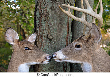 Whitetail buck and doe - Doe and buck by tree.