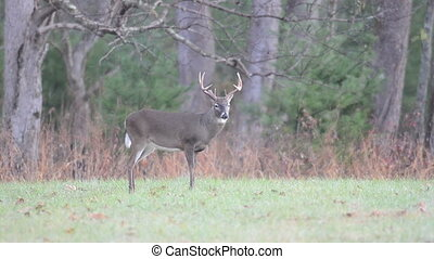 Whitetail buck and wild turkeys - Wild Turkeys run along the...