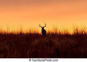 Whitetail Buck at Sunrise - a big whitetail buck silhouetted...