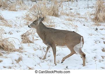 Whitetail Buck In Snowy Marsh - Winter scene of a buck...