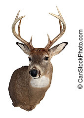 Whitetail Buck Isolated on White - A mature whitetailed buck...