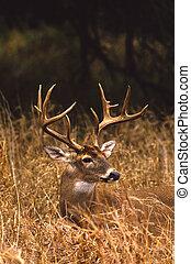 Whitetail buck Portrait - a close up portrait of a trophy ...