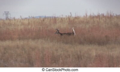 Whitetail Buck Running - a big whitetail buck running...
