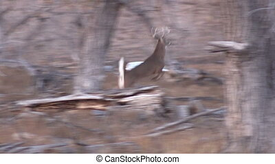 Whitetail Buck Running - a nice whitetail buck running...