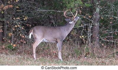 Whitetail buck rut behavior - A whitetail deer buck...
