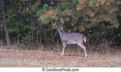 A whitetailed deer buck scrapes on the ground as part of rut behavior