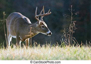 Whitetail buck - A whitetail deer buck makes its way through...