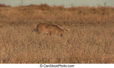 Whitetail Buck Walking - a whitetail buck walking across a...