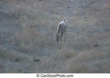 Whitetail Buck Walking