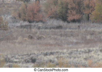 Whitetail Bucks in Field - a group of whitetail bucks in a...