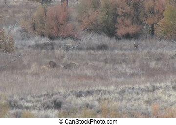 Whitetail Bucks in Field