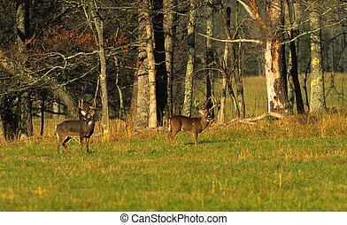 Whitetail Bucks - two big whittail bucks in a green field