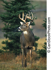 whitetail, curioso, maschio