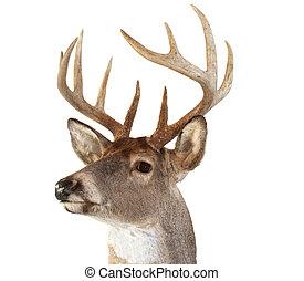 whitetail, dall'aspetto, testa, cervo, sinistra