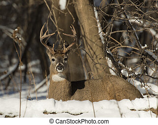 Whitetail Deer - A whitetail deer laying in the snow
