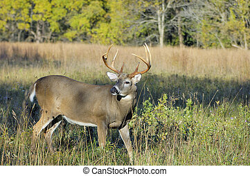 Whitetail Deer Buck - A whitetail deer buck in standing in a...