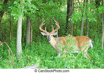 Whitetail Deer Buck - A whitetail deer buck in summer velvet...