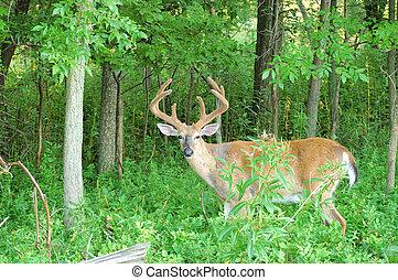 A whitetail deer buck in summer velvet standing in a field.