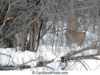 Whitetail Deer Buck - A whitetail deer buck standing hidden ...