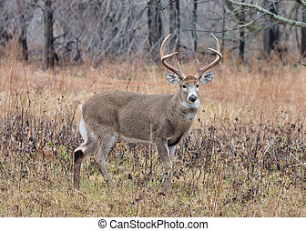 A whitetail deer buck standing in a field in the rutting season.