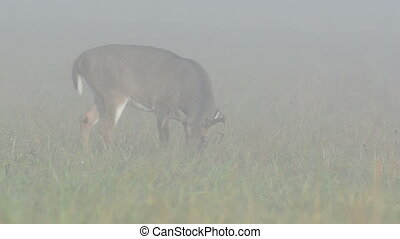 Whitetail deer buck grazing in heav