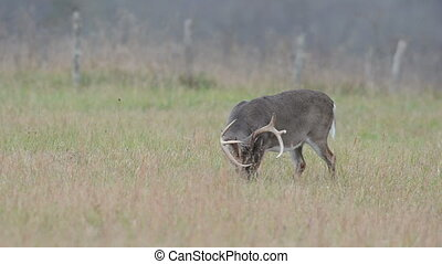 Whitetailed deer buck grazing in an open meadow in Smoky Mountain National Park