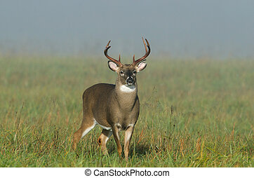 Whitetail deer buck in a foggy field - Large whitetailed ...