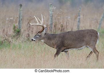 Whitetail deer buck in a foggy field