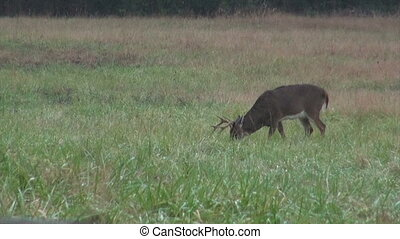 Whitetail deer buck in heavy rain