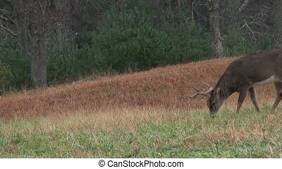 Whitetail deer buck in heavy rain - A whitetail deer buck...