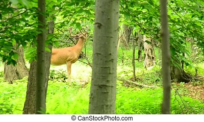 Whitetail Deer Buck In Velvet