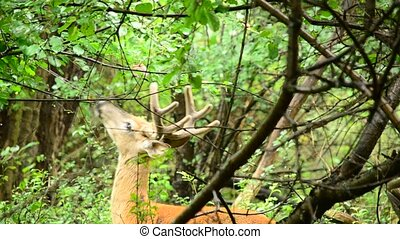 Whitetail Deer Buck In Velvet - Whitetail deer bucks in...