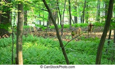 Whitetail Deer Buck In Velvet - Whitetail deer bucks in...