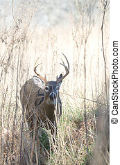Whitetail deer buck moving through brush