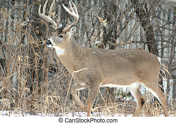 Whitetail Deer Buck Profiled