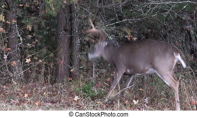 A whitetail deer buck violently waves its antlers and tears at tiny branches as part of rut behavior
