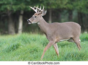 Whitetail Deer Buck Trotting in a Field