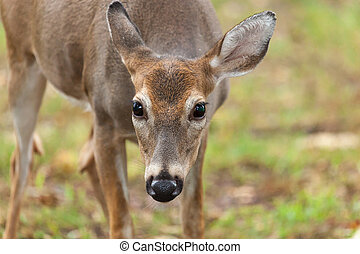 Whitetail Deer Doe - A whitetail deer doe grazes in the ...
