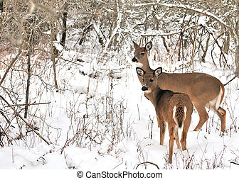 Whitetail Deer Doe And Yearling - A whitetail deer doe with...