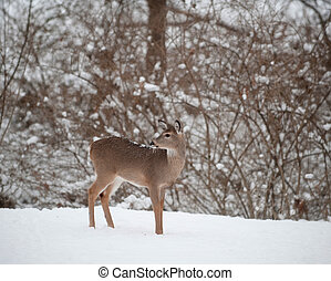 Whitetail deer doe in snow - A white-tailed deer doe ...